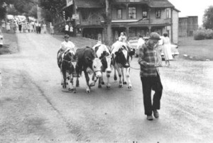 1955 Parade with cows